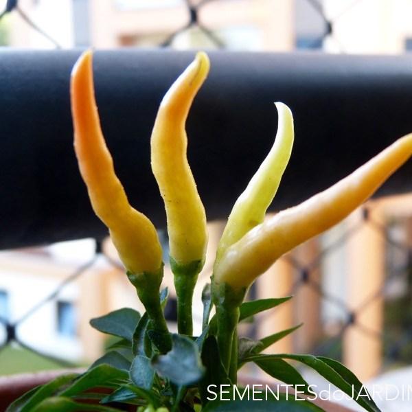 Pimenta Medusa