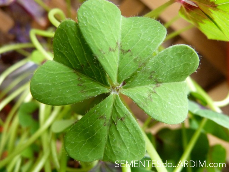 Trevo de 4 folhas - Bulbos - Oxalis deppei