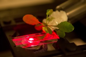 Researchers use a near-infrared microscope to read the output of carbon nanotube sensors embedded in an Arabidopsis thaliana plant. (Source: MIT)