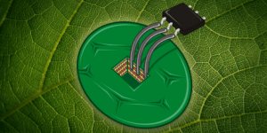 ETH scientists used cells form the tobacco plant to build the by far most sensitive temperature sensor. (Source: ETH Zurich)