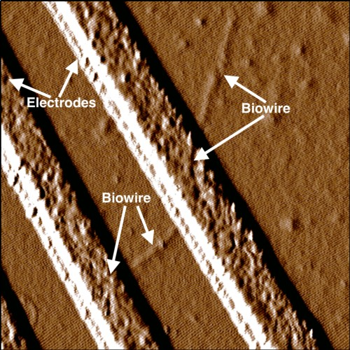Synthetic biowire making an electrical connection between two electrodes. (Source: UMass Amherst)