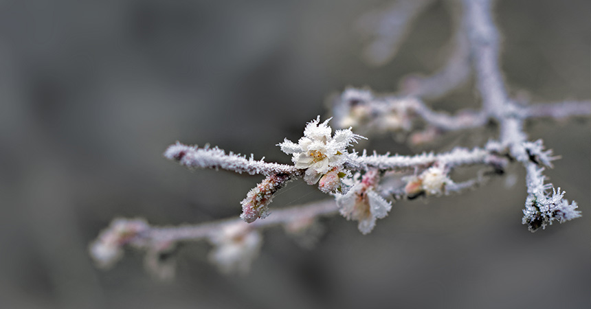 Frozen buds on a branch during a frost event