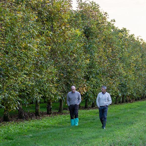 Farmers walking through a walnut orchard