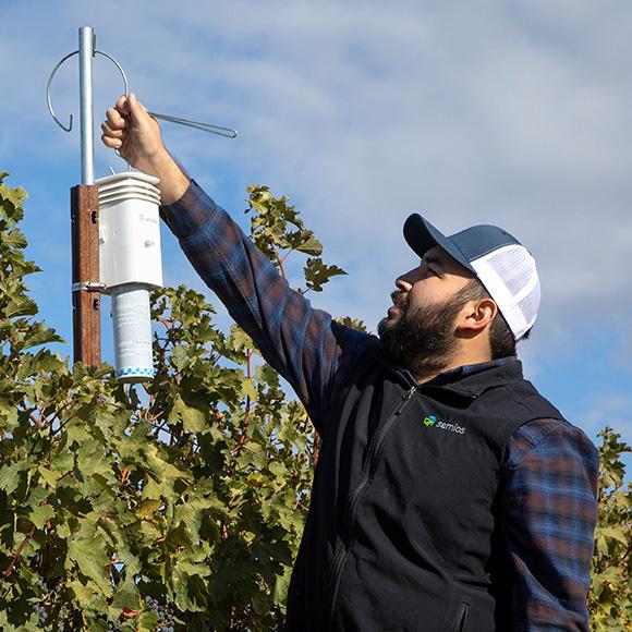 Semios Field Technician hanging up a pheromone dispenser in a vineyard