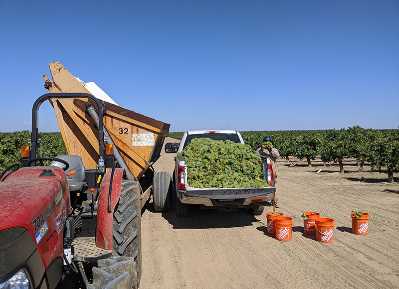 Grape harvest at a Semios grape research trial