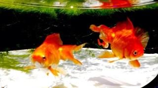 金魚の飼い方!屋外で飼う時の注意点