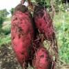 あらす観光いも掘り農園で芋掘り体験