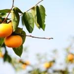 神戸きづ柿狩り園で柿狩り体験