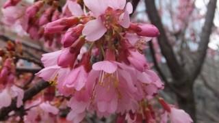 伊東市のさくらの里に早咲き桜を見に行こう