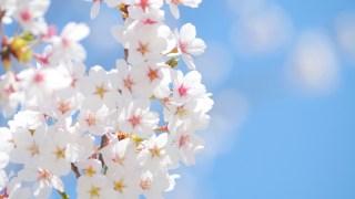 馬見丘陵公園でお花見!寒緋桜からソメイヨシノまで!