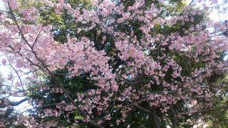 茨木市民さくらまつりに行ってきました!元茨木川緑地の桜通り(追記あり)