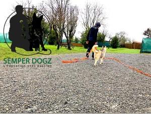 Semper-Dogz---éducateur-canin-nantes-cholet---jeune-husky-craintive