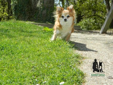 Semper-Dogz-educateur-canin-nantes-cholet---chihuahua-poils-longs