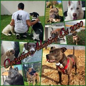 Semper-Dogz-educateur-canin-nantes-cholet-opération-adoption-été-2020