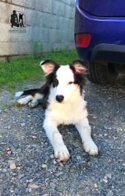 Semper-Dogz---éducateur-canin-nantes-cholet---berger-australien-Ribin