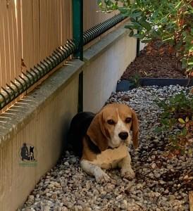 Semper-Dogz---éducateur-canin-nantes-cholet---chien-craintif-beagle-Nessie