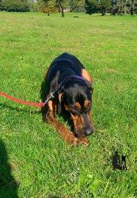 Semper-Dogz-éducateur-canin-nantes-cholet-balade-éducative-Roxanne