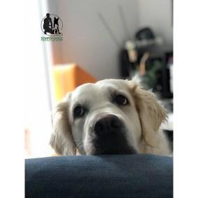 Semper-Dogz-educateur-canin-nantes-cholet-golden-retriever