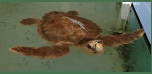 Tartaruga marina curata nel centro di recupero delle Tartarughe Marine a Riccione