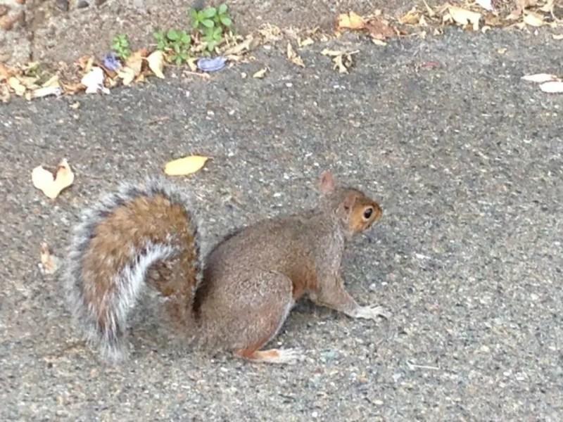Uno scoiattolo a Holland Park