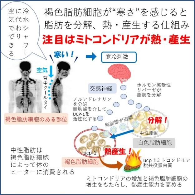 褐色脂肪細胞が脂肪を分解するメカニズム