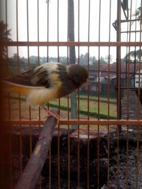 senandung bird farm
