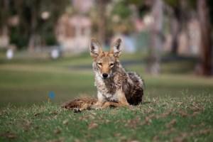 DoNowU Urban Coyote