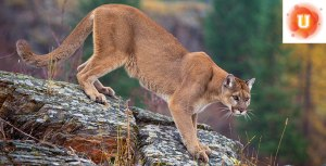 MountainLion_Cover_CourtesyUSFS_688x344