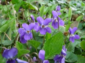 Ruta ST60 Violetes a la Serralada Litoral