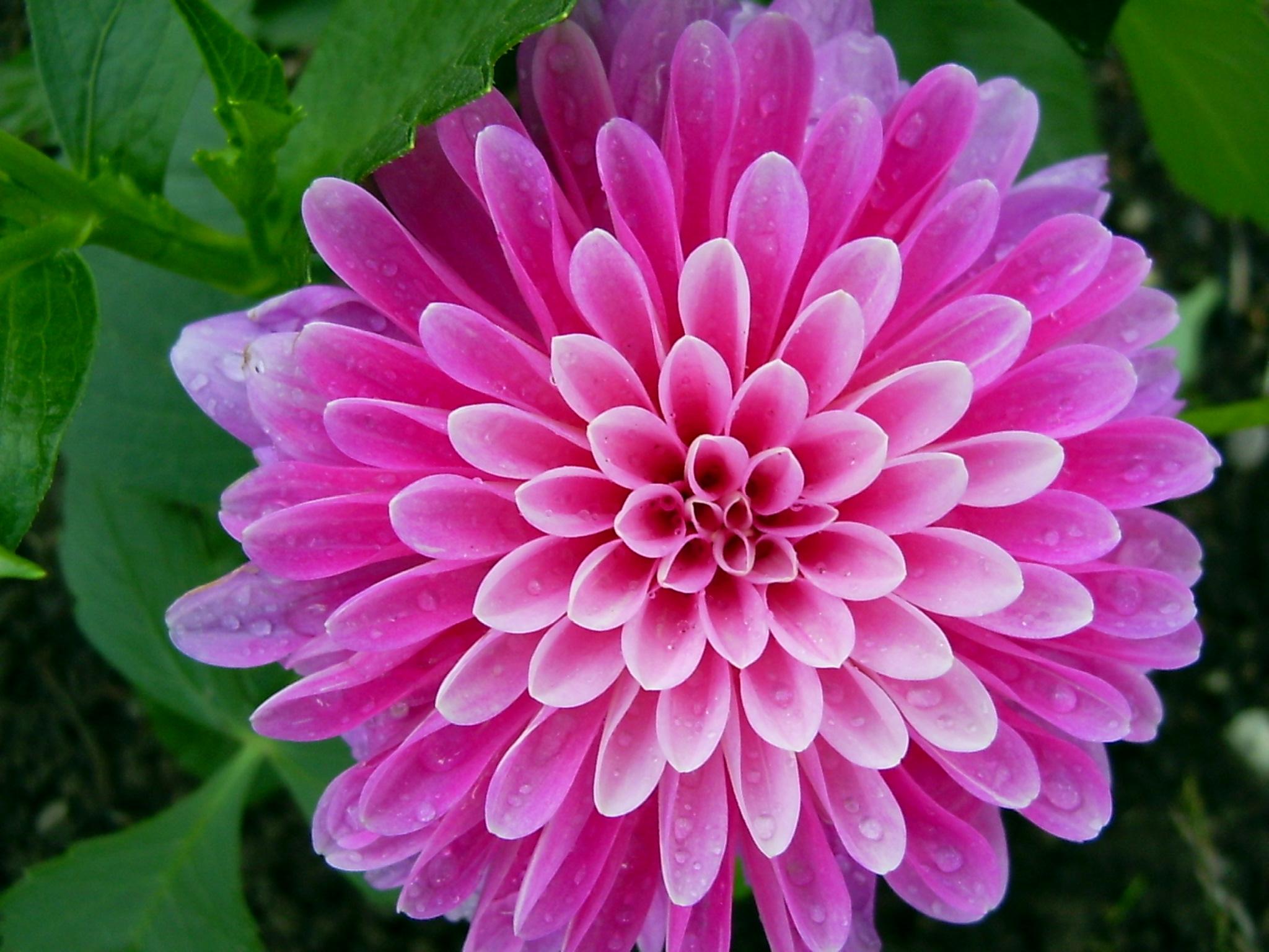 Flowers From India 4k Hd Desktop Wallpapers For Desktop Smartphone