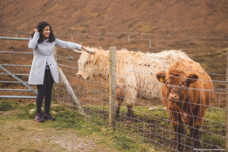 Ultimate road trip in Scotland Highlands - Scottish Cows, Road Trip, Scottish Highlands, Scotland - Travel Blog 8