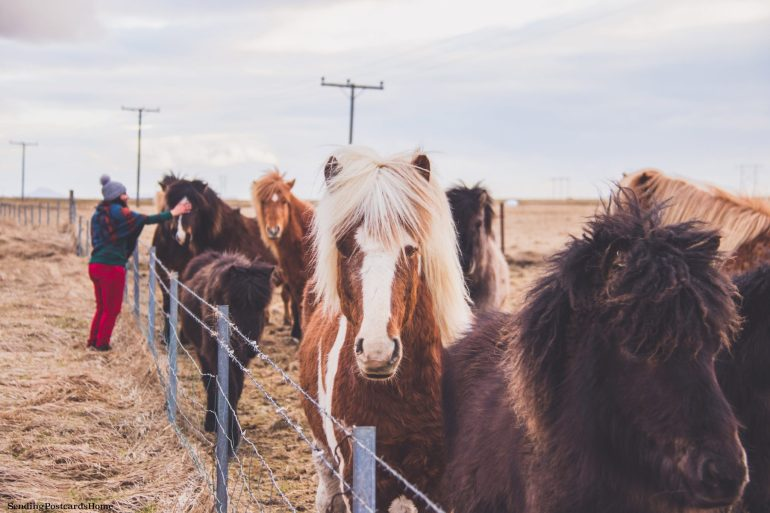 Land of Fire & Ice! First Impressions on Iceland - Icelandic horses