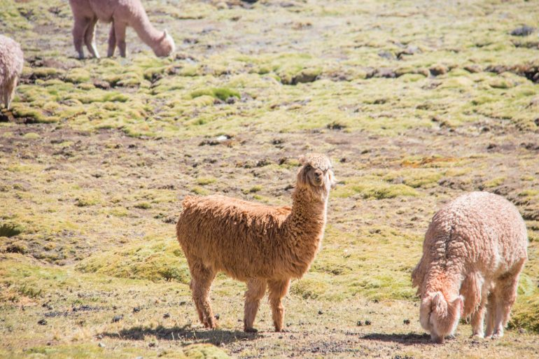 Alpacas in Peru & South America