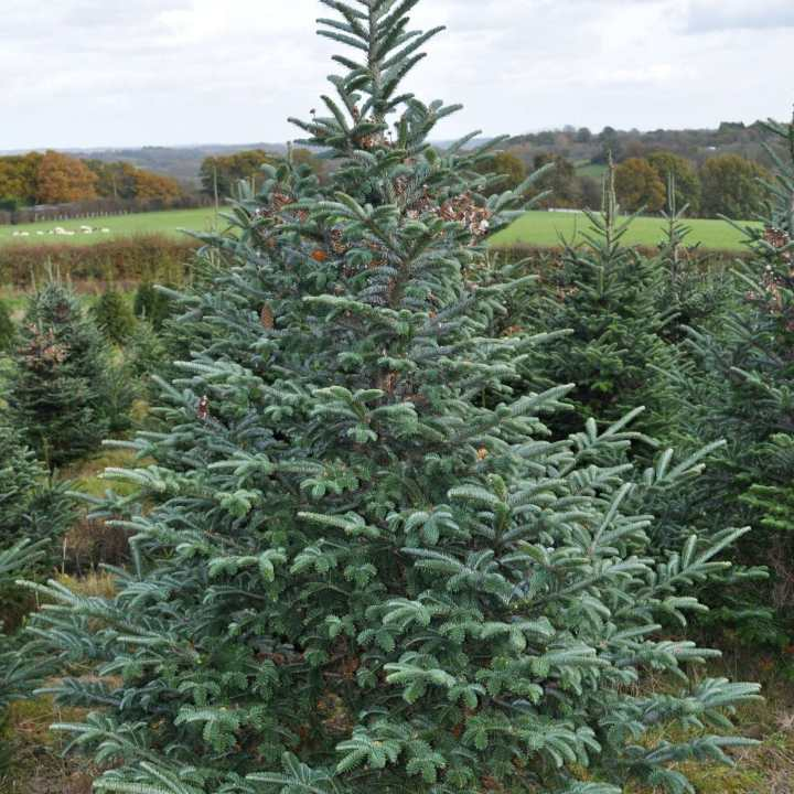 Fraser Fir Christmas Trees: Fraser Fir Christmas Trees For Sale