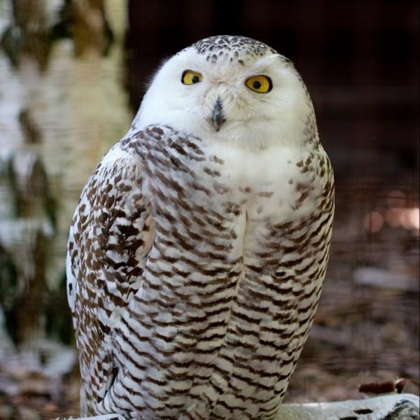 Snowy Owl Seneca Park Zoo