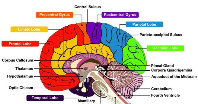 brain parts shutterstock_554925634-2