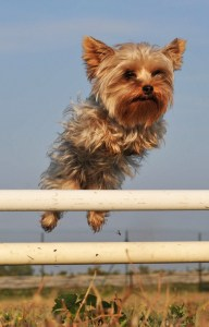 Yorkshire Terrier leaps over hurdle in canine competition