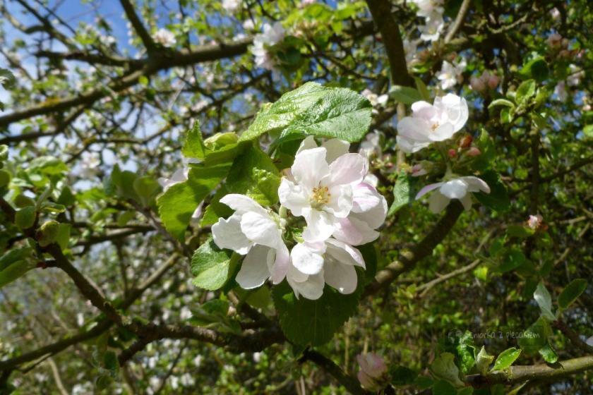 Kwitnąca jabłoń w Polsce