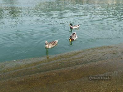 Kaczki w Rapallo