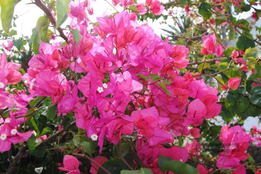 Kwiaty w Yaiza