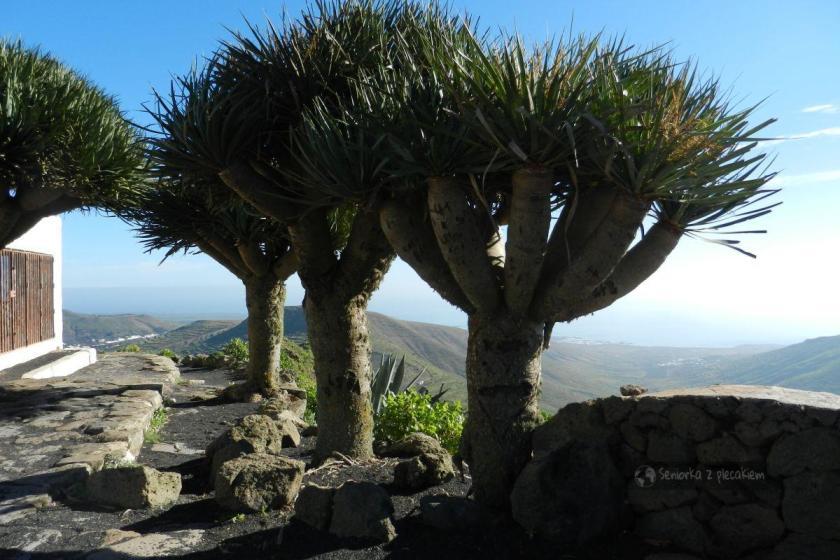 Smocze drzewa na Lanzarote