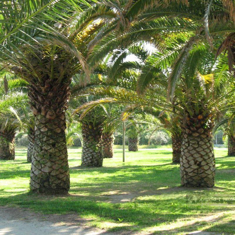 Palmy na Korsyce