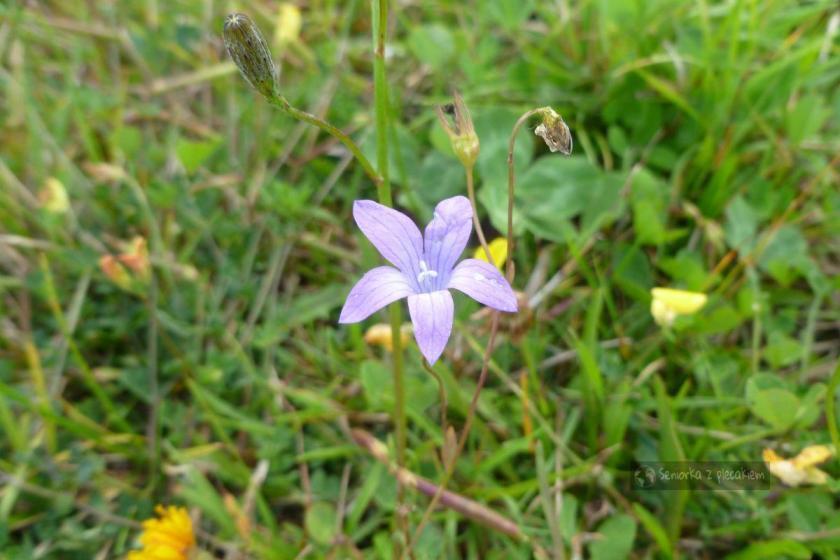 Kwiatek w Beskidzie Sądeckim