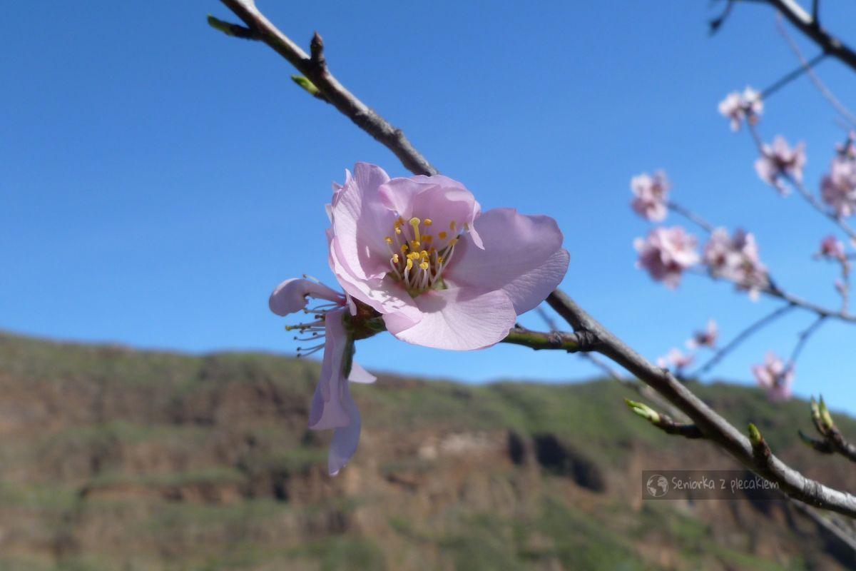 Kwitnący migdałowiec