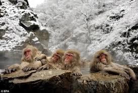 singes au bain - Copie