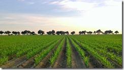 corn field-001