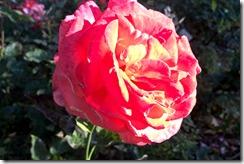 rose 6-29-2015 11-36-46 PM 4386x2919