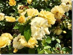 rose garden (3)