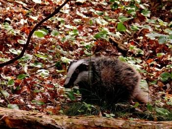 badger-341746_1920.jpg