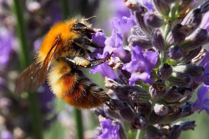 Pollinatör